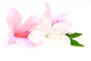 白とピンクのツツジ
