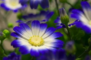 青紫のサイネリア